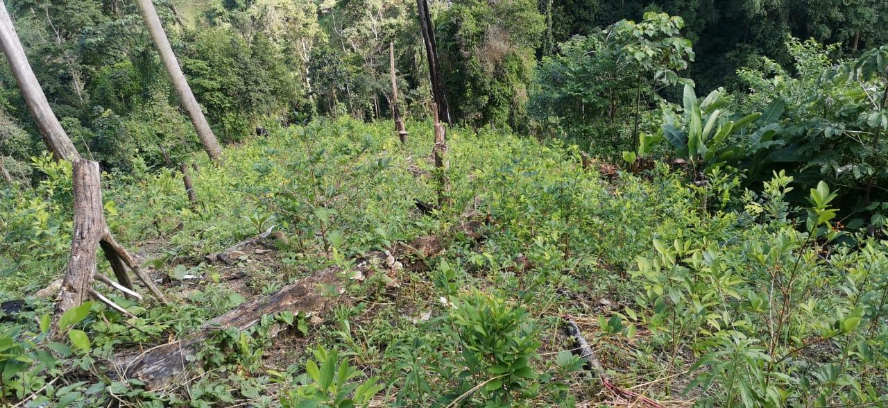 Policía Nacional erradica más de 15 mil arbustos de coca y un narcolaboratorio.